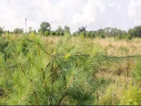 How fast do White Pine Trees Grow