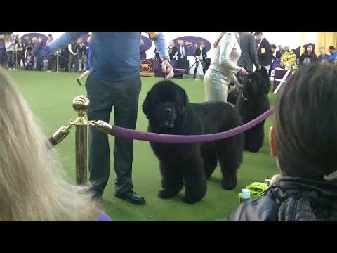 Newfoundland Westminster dog show 2020