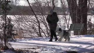Lucy (old English Sheepdog) Obedience Training Demonstration