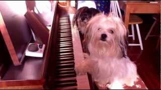 Duet Of Havanese And Shih Tzu Dog Plays Piano