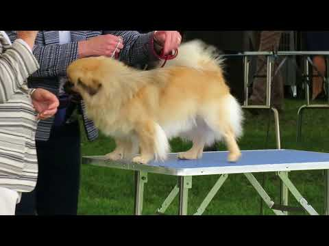 Finlay the Tibetan Spaniel at Richmond Champ Show