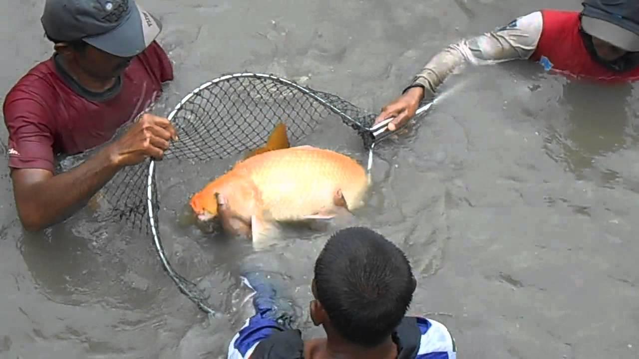 Unduh 430 Koleksi Gambar Ikan Tombro Besar HD Gratis