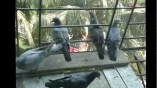 Pigeons Fighting and Eating Food 2x Time-lapse