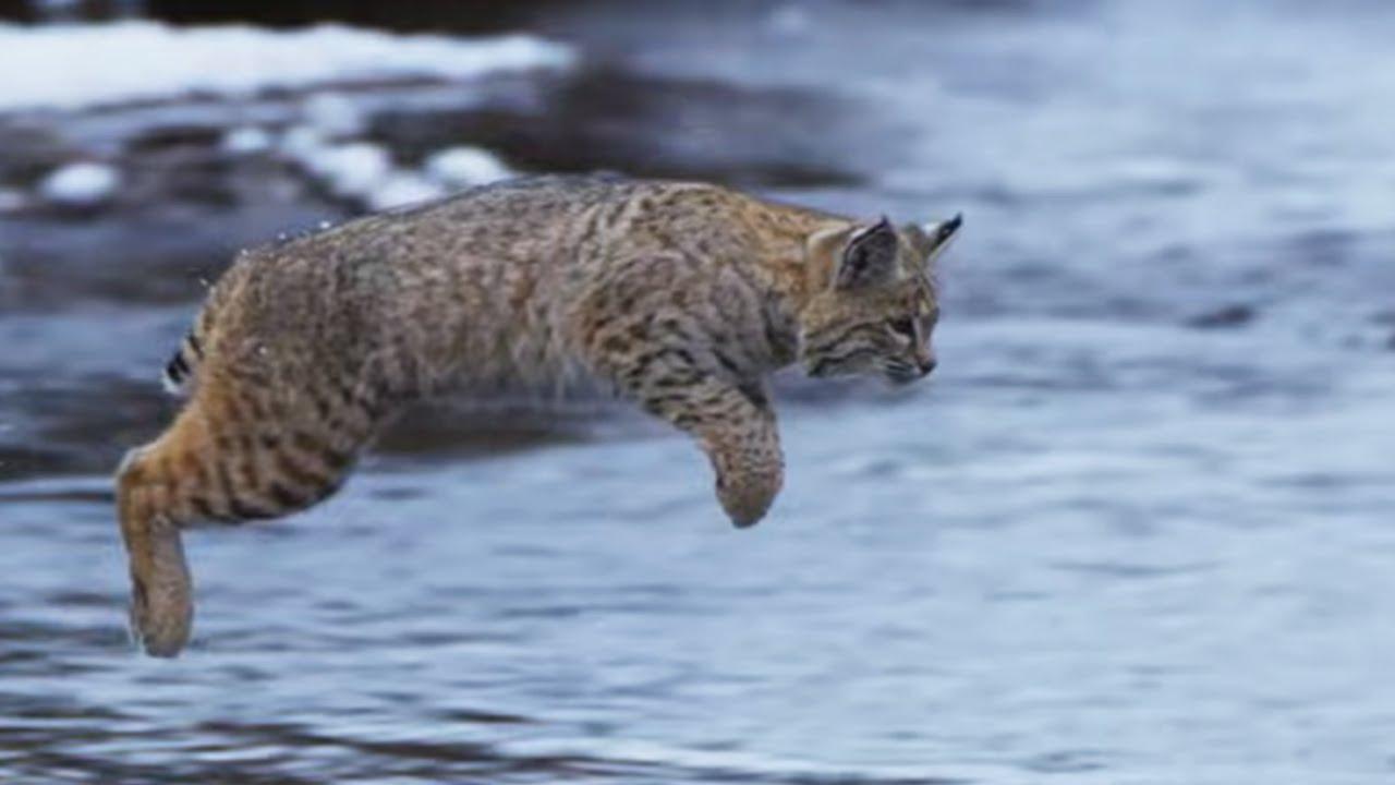 Bobcat Hunting in Winter