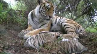 Tiger birth. Tigress gives birth to 5 tiger cubs at Tiger Canyons. Help tigers - share our posts