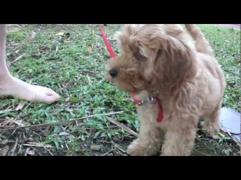 Spoodle Puppy- 10 week old Millie's milestones