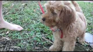 Spoodle Puppy 10 week old Millie's milestones