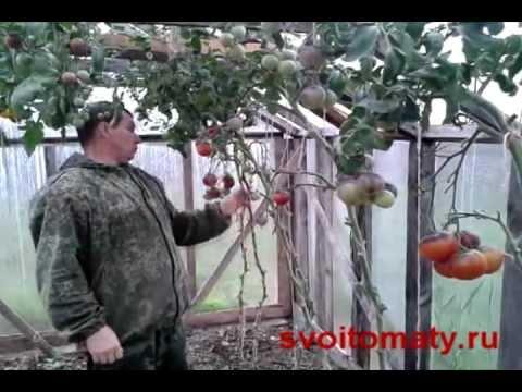 Какие семена томатов выбрать? Лучшие сорта помидоров