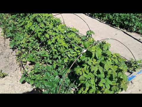 Как на месяц ускорить плодоношение ремонтантной малины