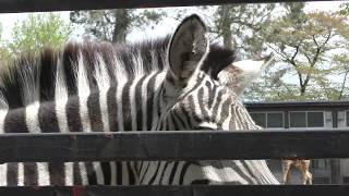 グラントシマウマ (羽村市動物公園) 羽村市動物公園のグラントシマウマ...