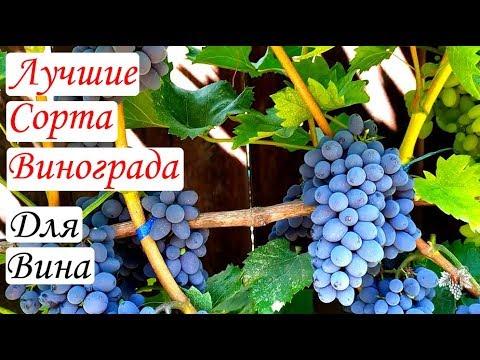 Самые лучшие сорта винограда для изготовления вина | выращивание | домашнего | виноделие | винограда | домашних | домашний | домашнее | виноград | рецепт | вино