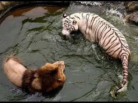 Lion Vs Tiger Amazing Fight Youtube