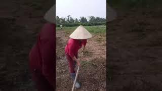 Chia sẻ quy trình làm đất trồng khoai sọ giống cổ hữu cơ - Đông Y Thiên Lương