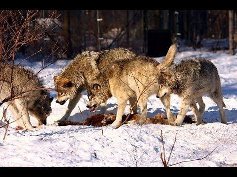 Волчья стая съела оленя