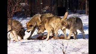 #11 Волчья стая съела оленя.