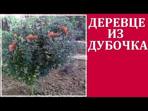 Хризантемы корейские -