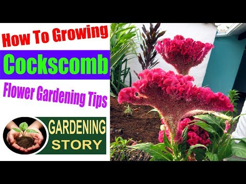 How To Growing Cockscomb Flower | Gardening Tips