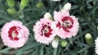 Best Perennials - Dianthus