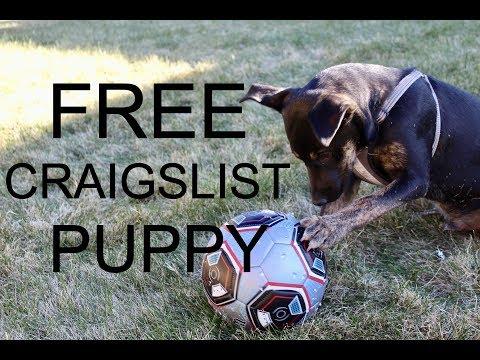 FREE Craigslist Puppy