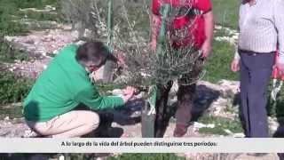 Gambar cover Introducción a la poda el olivo