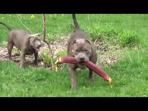 Giant Blue pit bull playing keep way with his son HULK SON