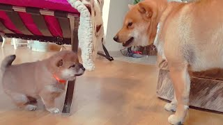 The return of AMGERY daddo - Ep 01 / Shiba Inu