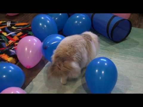 Ragdoll Cats Bite, Pounce and Punch Over 2 Dozen Balloons