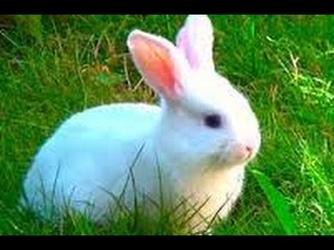 RABBIT Documentary 2016 National Geographic Animal Planet For KIDS BBC[ Island Angora Wild]