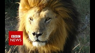 The Lion Chaser - BBC News