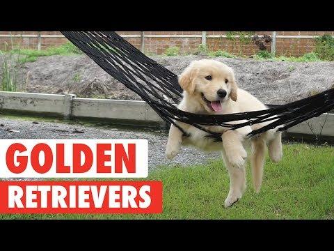 Good Goldens | Golden Retrievers Video Compilation 2017