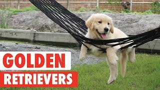 Good Goldens | Golden Retrievers Video Compilation 2017