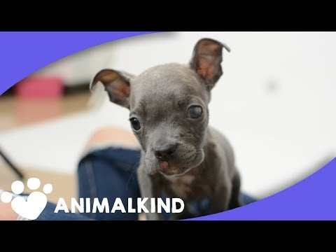 Tiny puppy transforms from ugly duckling