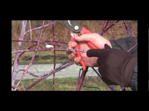 How To Prune Black Raspberry Plants In Late Winter Or Early Spring Gurney S Video You