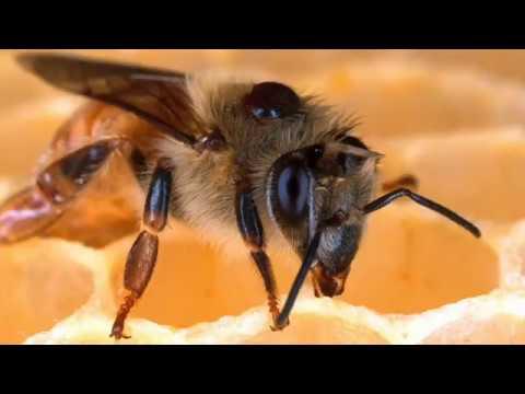 capsule 1 formation apicole comment vivent les abeilles. Black Bedroom Furniture Sets. Home Design Ideas