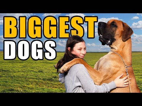 8 Of The Largest Dog Breeds | Talkin' Dogs List Show