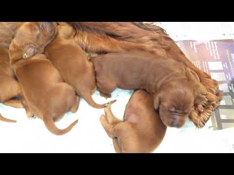 Irish Setter Honey's Puppies Day 6