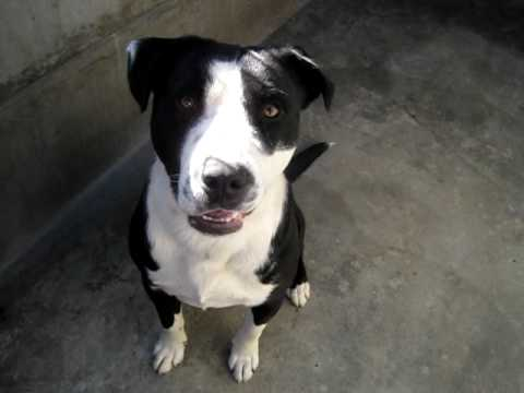 Pit/Border Collie Mix (A270156) at Pasadena Humane - YouTube