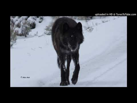 Lamar Pack Howling in Yellowstone