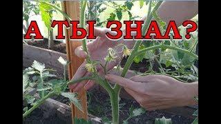 видео как ухаживать за помидорами
