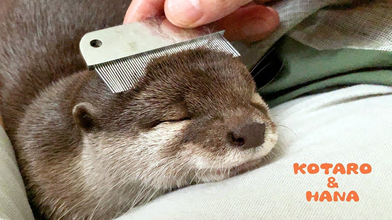 Otter Kotaro & Hana So Comfy