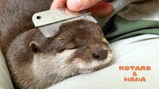 Otter Kotaro&Hana So Comfy