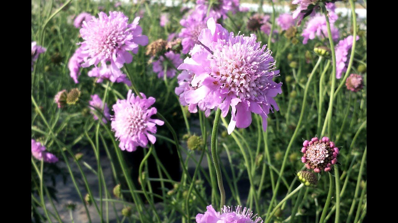 Best Perennials For Sun Scabiosa Pink Mist Pincushion Flower