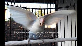 Gambar cover Dengan CEPAT LOVEBIRD AKAN EMOSI dan IKUT GACOR dengan  PANCINGAN LOVEBIRD INI