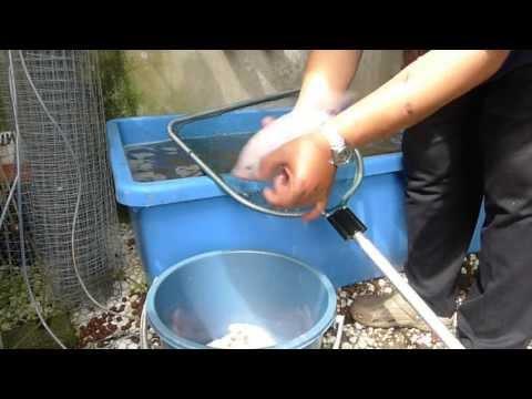 Affnan's Aquaponics - The Final Harvest