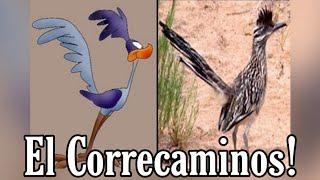 El Correcaminos un ave muy veloz. De 0 a 67 Km/H en 2,5 segundos 😱 (Road runner)