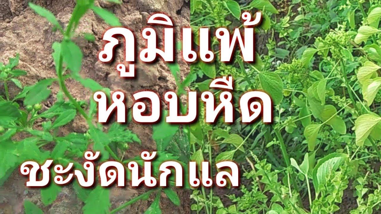 ภูมิแพ้ หอบหืด - สมุนไพรภูมิปัญญาชาวบ้าน ต้นกรดน้ำ ตำแยแมว EP.  01 ภูมิแพ้