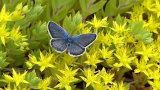 Silver-studded Blue on Sedum ヒメシジミ♂がツルマンネングサを訪花吸蜜