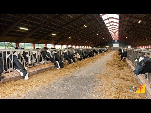 Manejo de Vacas no Pré-Parto - Curso Como Produzir Mais Leite e Mais Bezerras