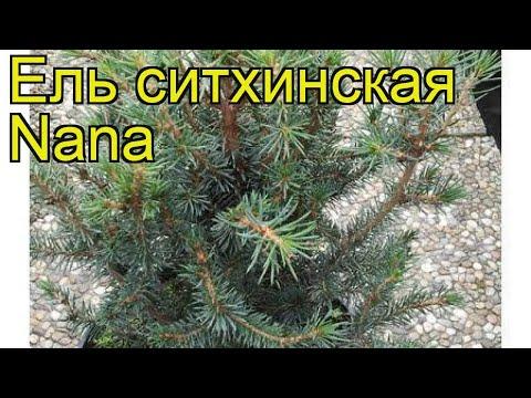 Ель ситхинская Нана. Краткий обзор, описание характеристик, где купить саженцы Picea Sitchensis Nana