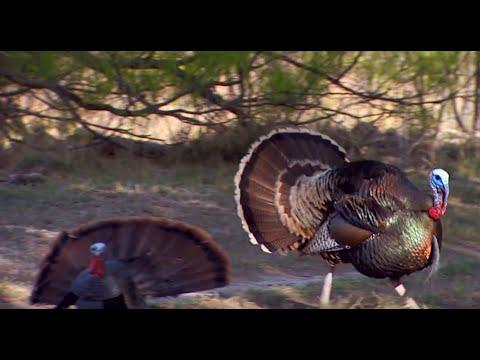 Rio Grande Turkeys